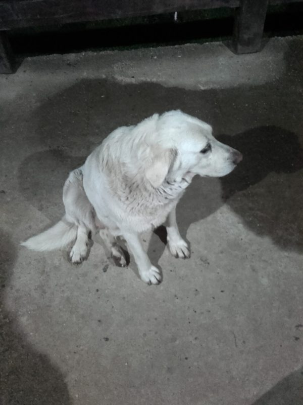 Labrador_1