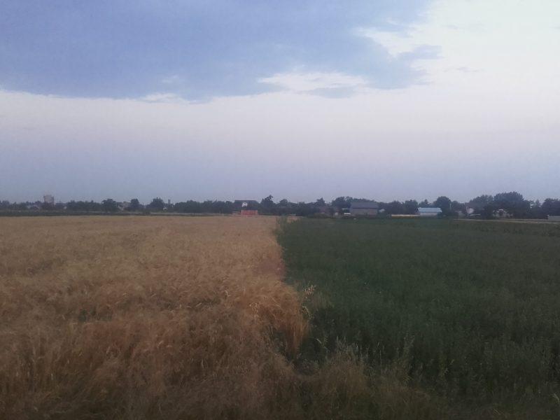 grâu vs lucerna