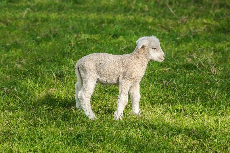 sheep_last transhumance